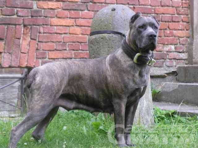 Allevatore cinofilo condannato per i tagli delle orecchie e della coda dei 'cani corso'
