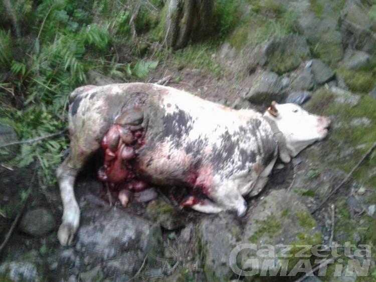 Champorcher, vitello ucciso; si ipotizza un attacco del lupo