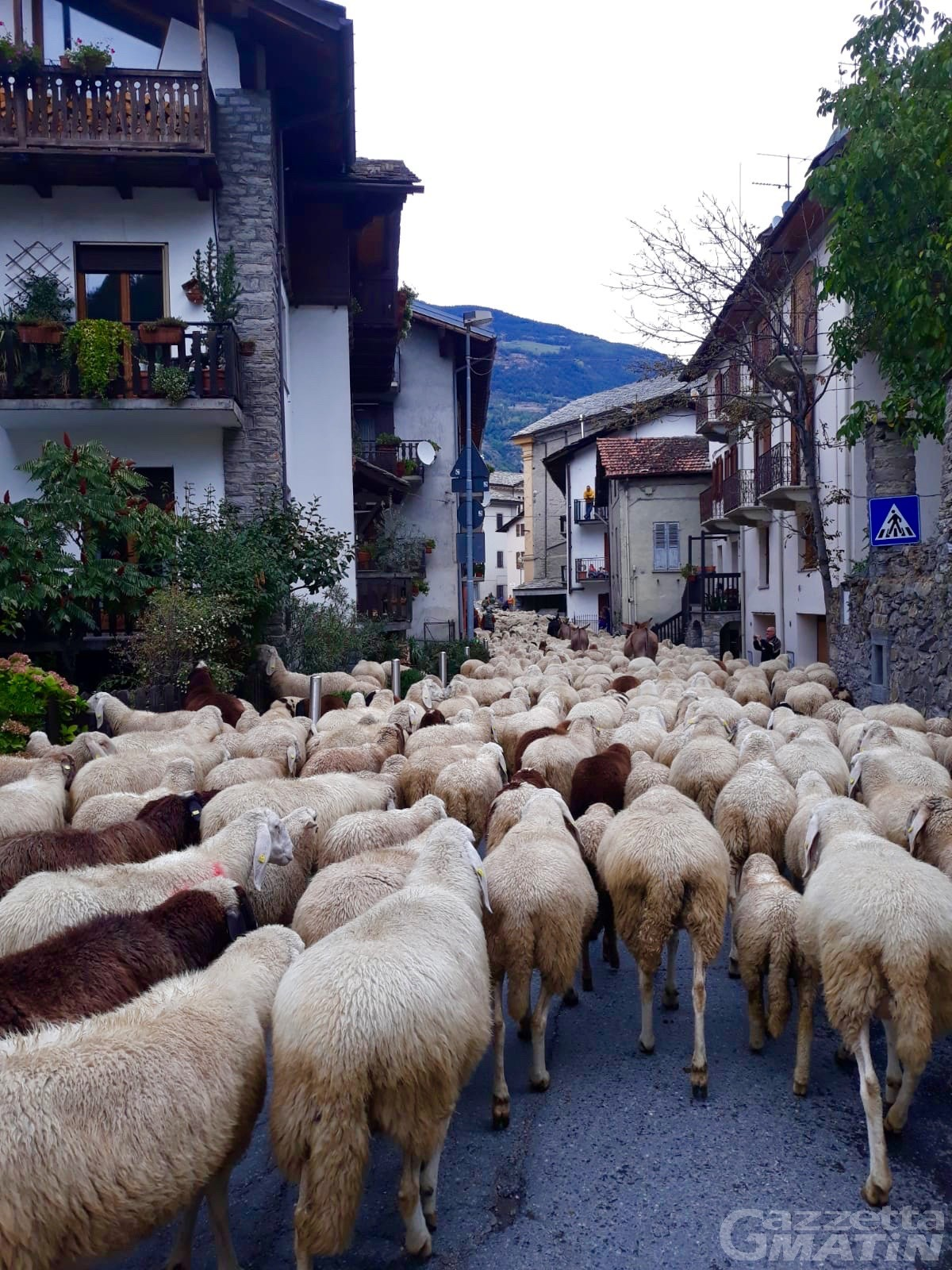 Maxi transumanza: mille pecore, capre e asini da Rhemes fino in Piemonte