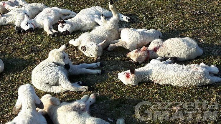 Issogne strage di agnelli: Coldiretti chiede l'approvazione del Piano Lupo