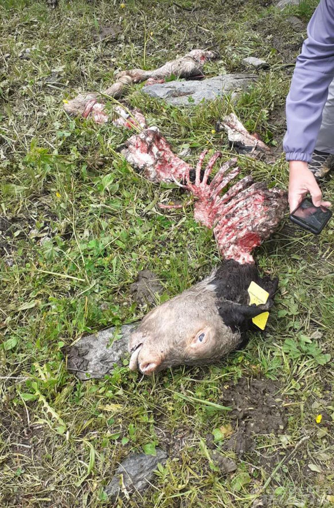 Lupo: sbranato un vitello in un alpeggio a Gressoney-La-Trinité