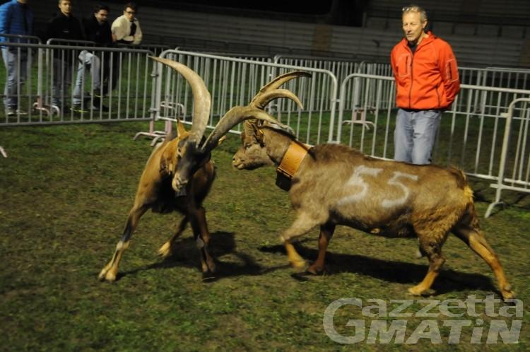 Batailles des chèvres: due giorni in arena a porte chiuse