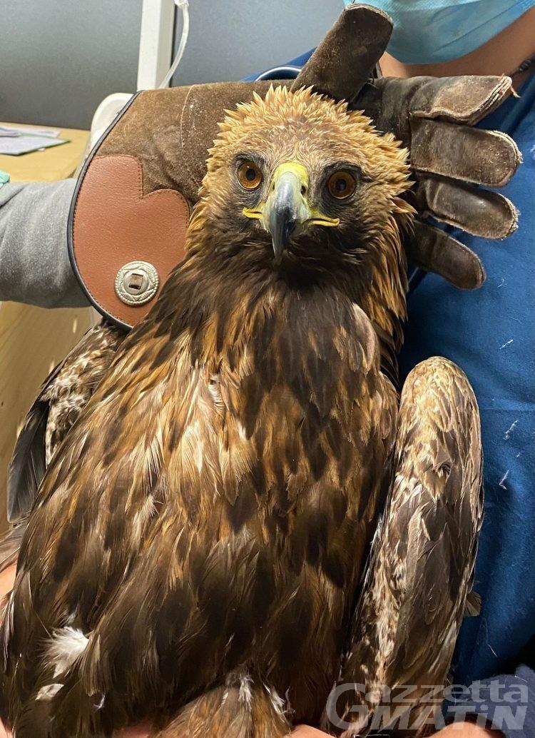 Aquila reale ferita: salvata dai guardaparco a Valsavarenche