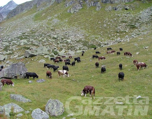 Ayas, una cinquantina di bovini precipita in un dirupo