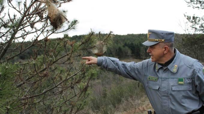 Processionaria del pino: problema arginato in VdA