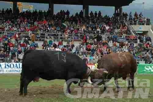 Zootecnia: oggi, sabato, combats de reines nella nuova arena di Pré Saint Didier