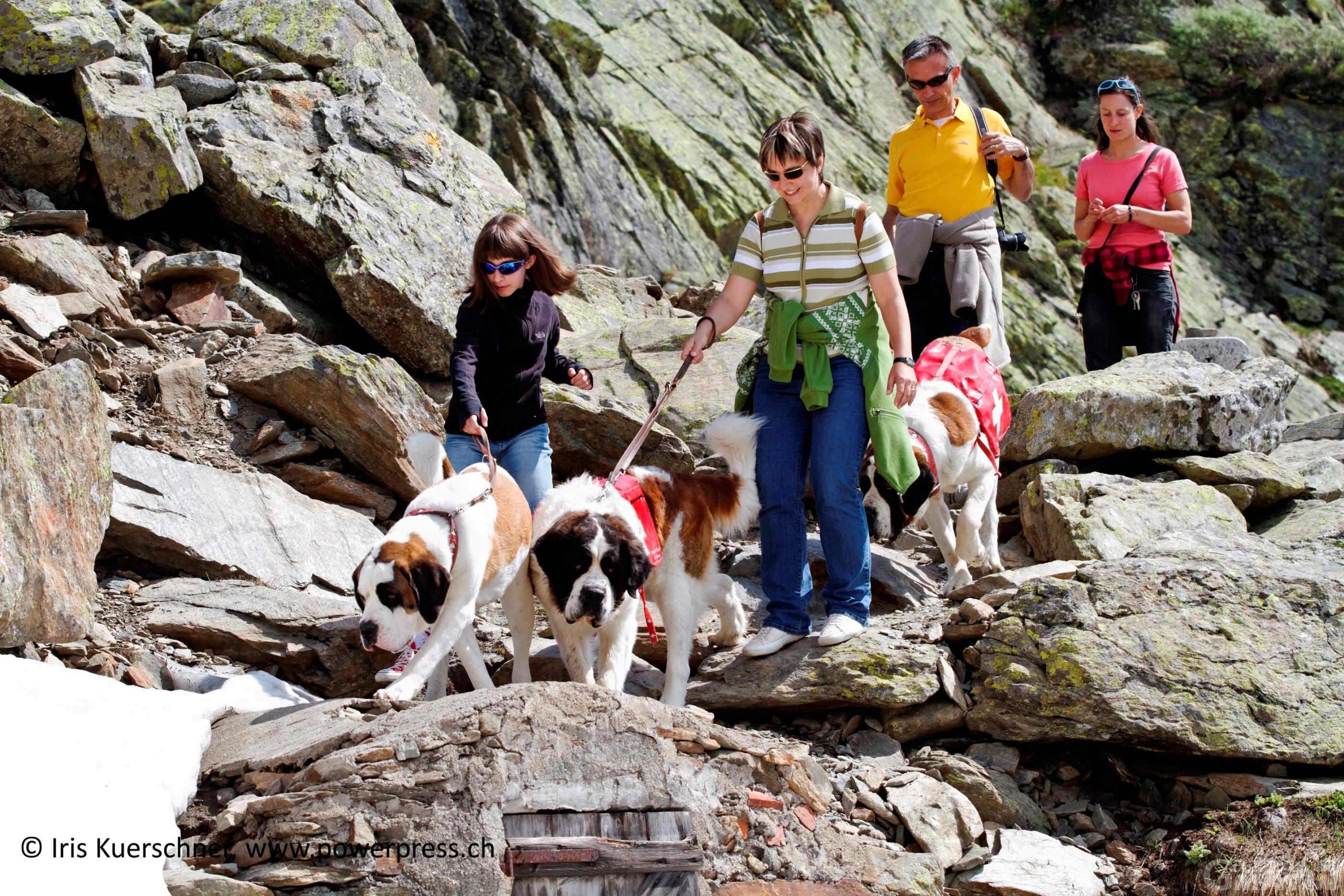 I cani San Bernardo tornano all'ospizio del valico tra Valle d'Aosta e Svizzera