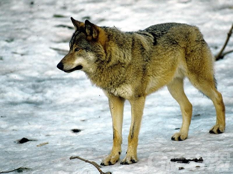 Tutela del lupo, alla Valle d'Aosta 484 mila euro di finanziamenti