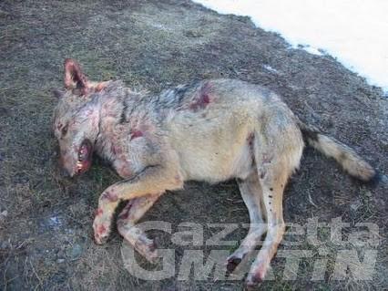 Lupo ucciso con arma da fuoco, indaga la Forestale