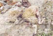 Lupi: attacchi a ripetizione a greggi nell'alta Valpelline