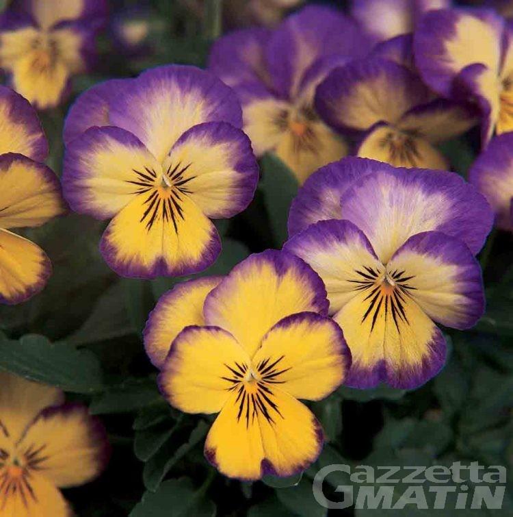 Fiera, a Montjovet 100 varietà di viole in fiore
