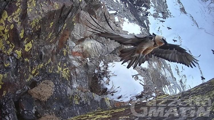 Natura, spettacolari immagini della nidificazione del gipeto