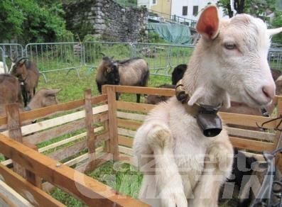 "Challand-Saint-Anselme festeggia la ""capra"" nel weekend"
