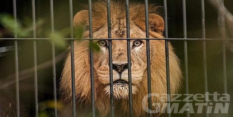 Brusson: graffiato da leone, finisce in ospedale