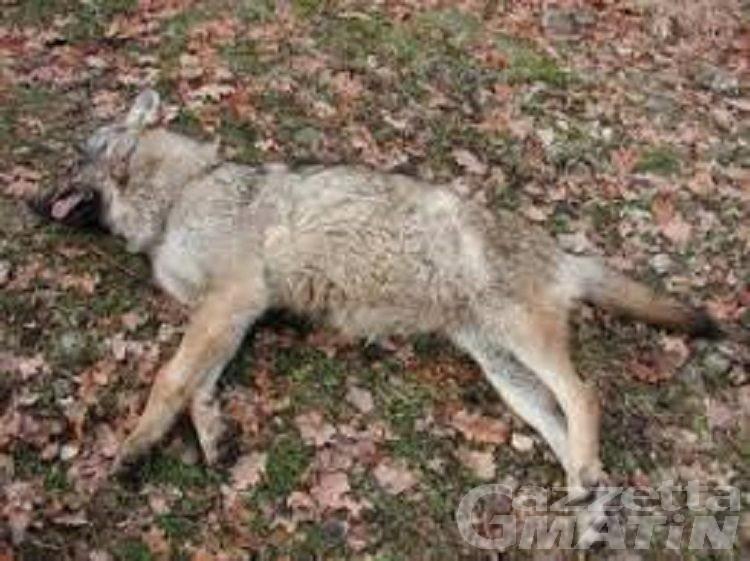 A Chatillon il primo lupo ucciso in Valle d'Aosta