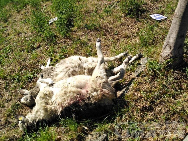 Attacco del lupo a Challand-Saint-Victor: 10 pecore sbranate e 3 ferite gravemente
